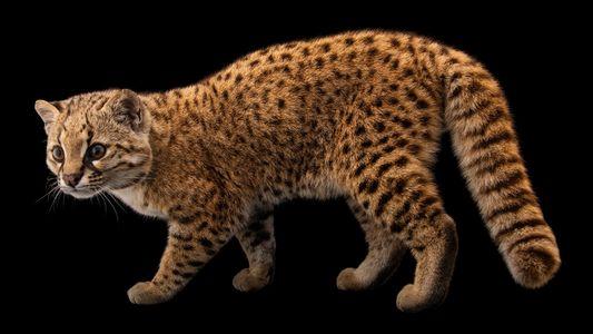 Conheça o Gato-chileno – Um 'Felino Misterioso' Ameaçado de Extinção