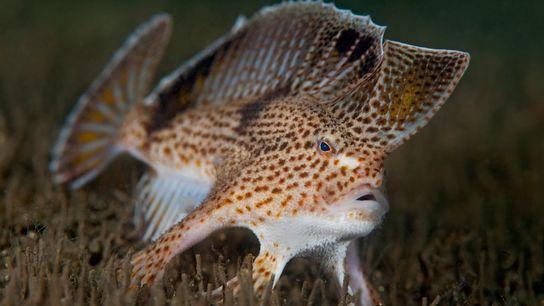 O peixe-mão-manchado, em perigo crítico de extinção, vive no estuário do rio Derwent perto de Hobart, ...