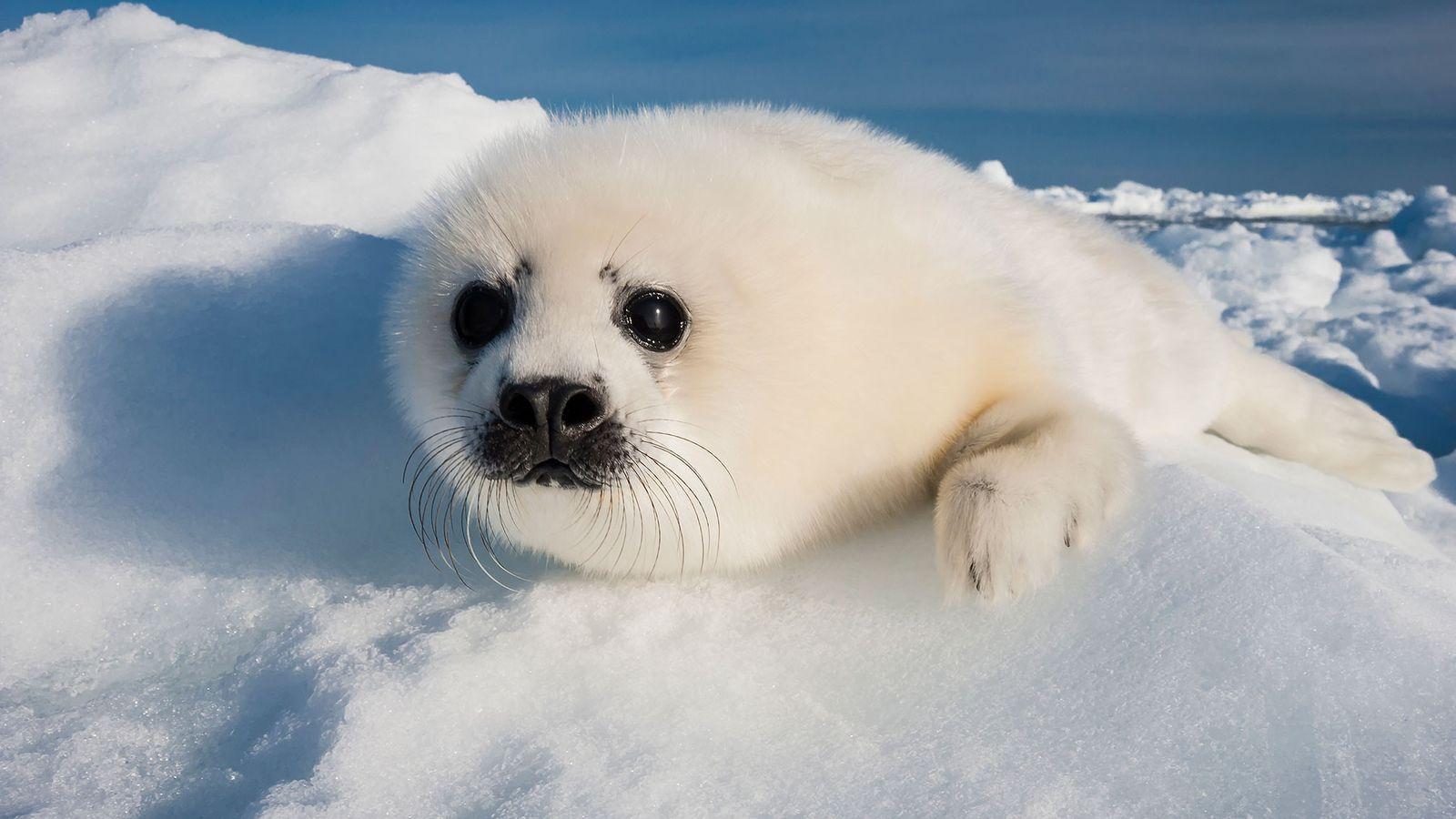 Uma cria de foca-da-Gronelândia.