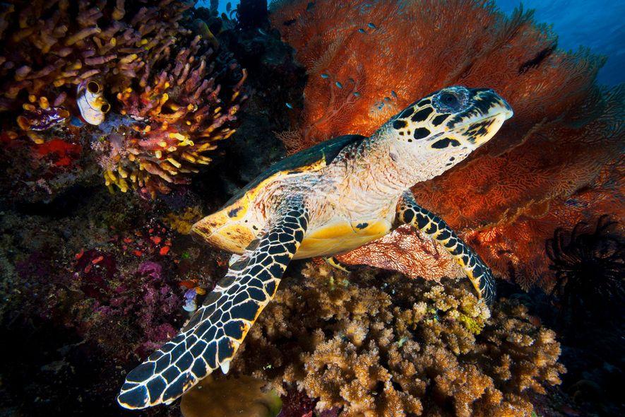 O comércio internacional de tartarugas-de-pente (espécie em perigo de extinção) é ilegal, mas o crescimento do ...