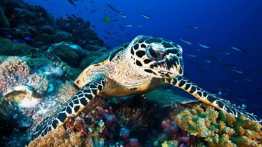 O Comércio de Carapaças de Tartaruga é Maior do que se Suspeitava