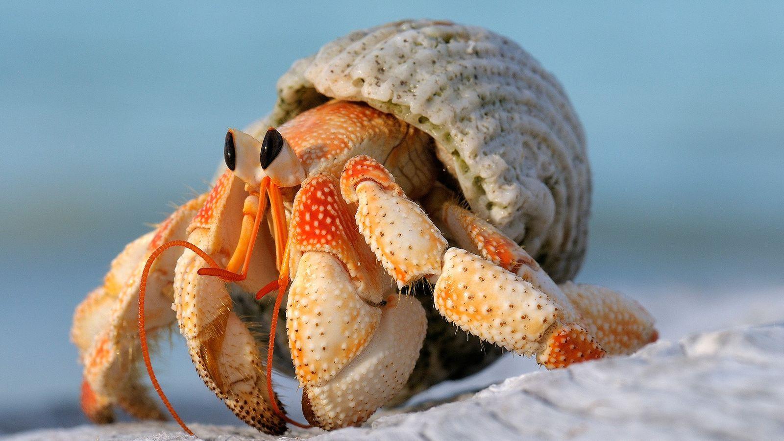 Tal como alguns dos seus parentes, o caranguejo eremita morango (Coenobita perlatus) das Seicheles despende de ...