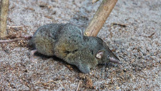 Descoberto em 2013, o Scutisorex thori pertence a uma de duas espécies conhecidas de musaranho-herói. O ...