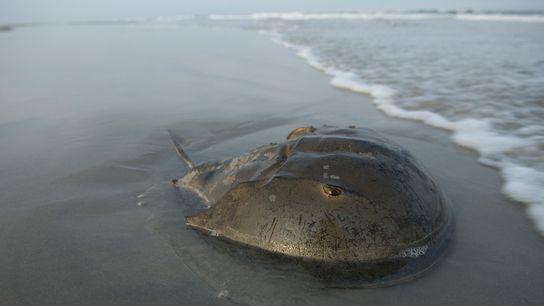 Um caranguejo-ferradura do Atlântico na praia de Stone Harbor, em Nova Jersey, perto da Baía de ...