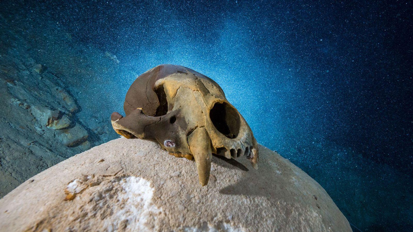 Predadores Da Idade Do Gelo Encontrados Junto Do Humano Mais Antigo Das Américas