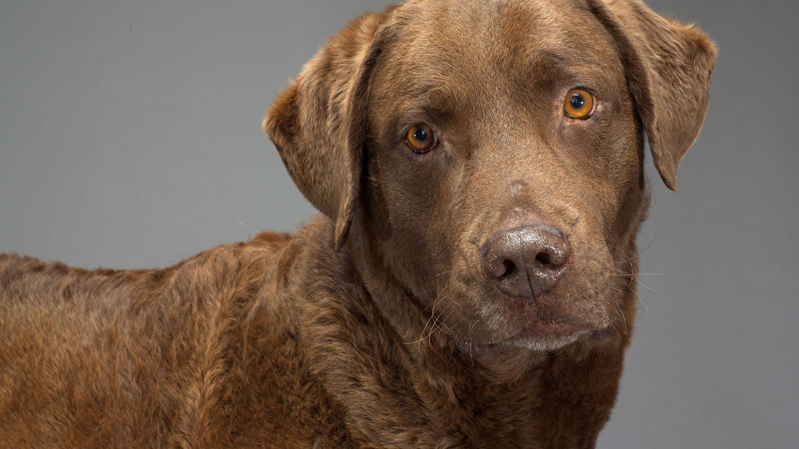 Os humanos influenciaram a evolução canina de várias maneiras, incluindo a forma como os seus cérebros ...