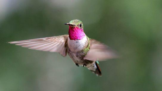 Um beija-flor-de-cauda-larga macho a voar no Colorado, numa imagem captada durante uma experiência sobre visão de ...