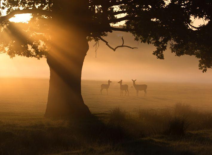 Um grupo de veados-vermelhos a pastar na neblina matinal do Parque Richmond de Londres.