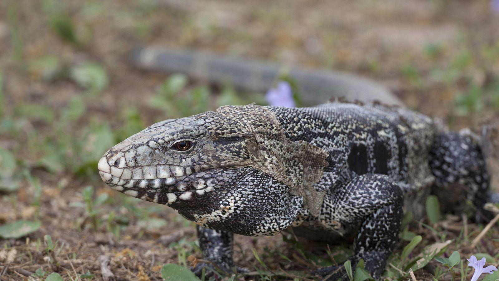 Um lagarto teiú-argentino (Salvator merianae) no seu país nativo, o Brasil. Os teiús tornaram-se animais de ...