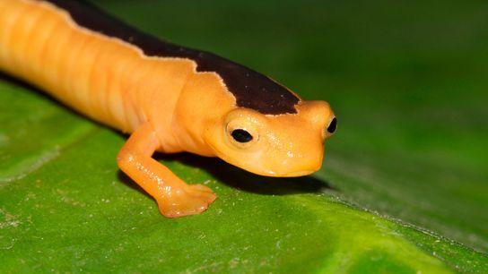 "salamandra ""maravilha dourada"""