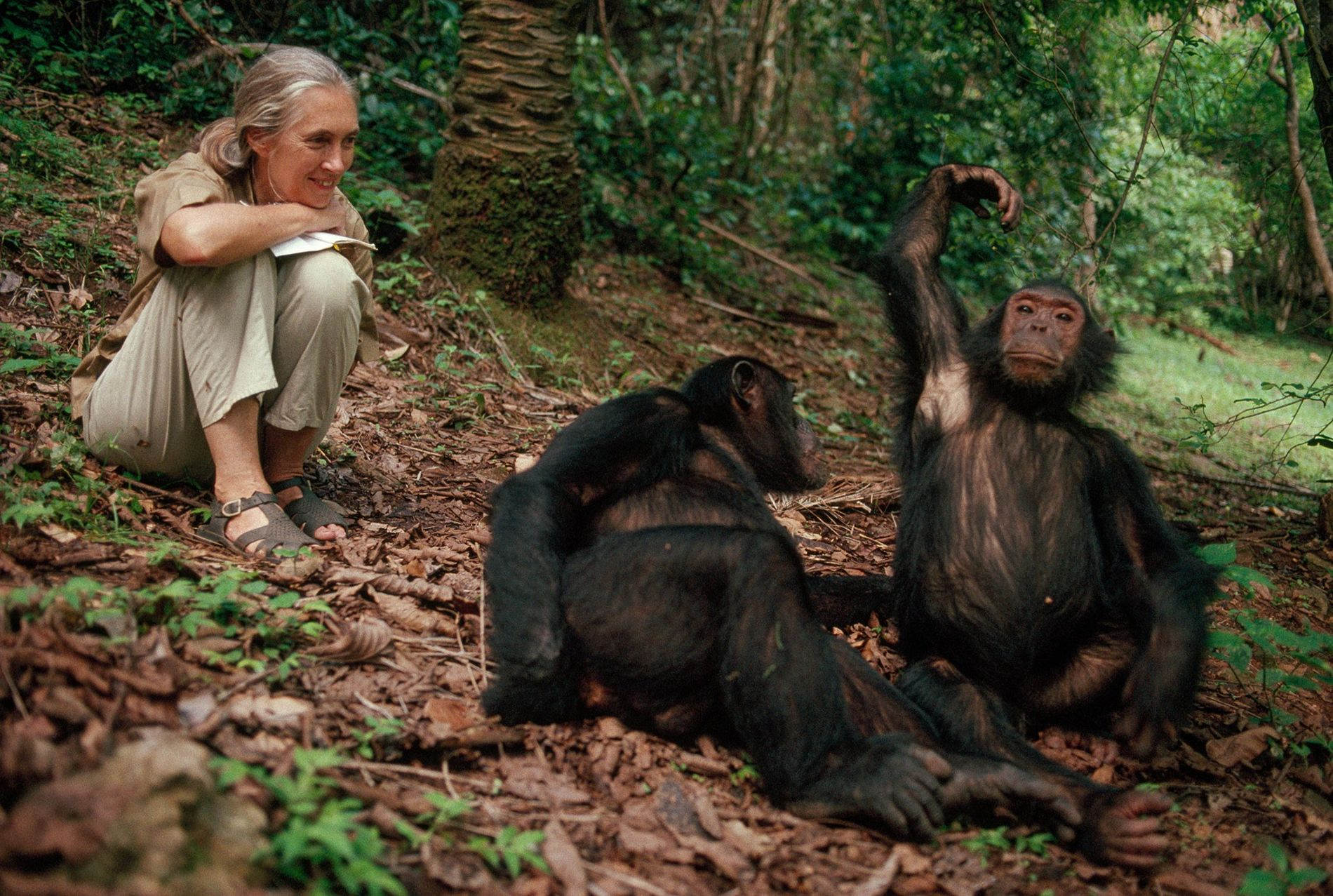 Jane Goodall sorri aos chimpanzés de Gombe