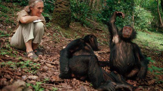 50 Anos Depois, O Estudo dos Chimpanzés Feito Por Jane Goodall Ainda Proporciona Novas Descobertas