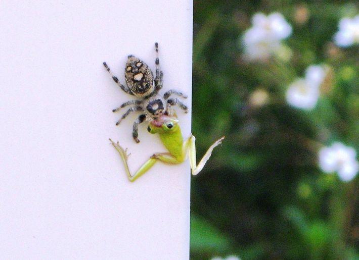 aranha-saltadora-real fêmea