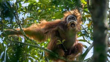 Veja Orangotangos, Jaguares e Outros Animais da Selva no seu Habitat Natural