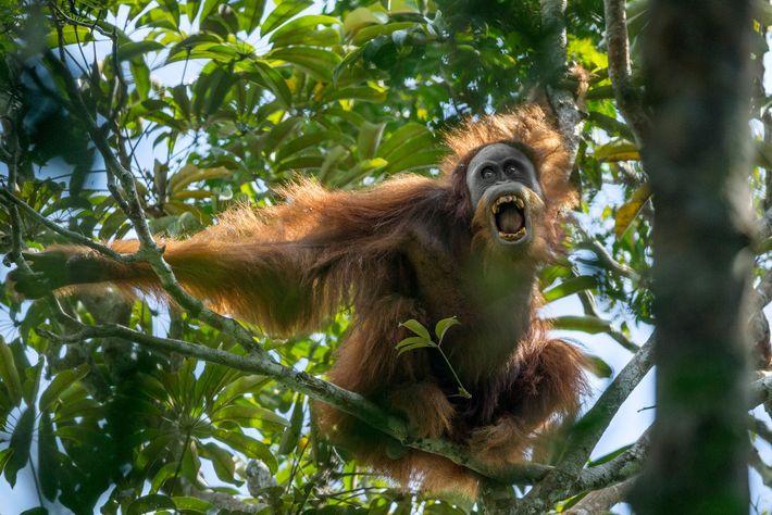 Um orangotango-de-tapanuli, fotografado em Sumatra, é um dos grandes símios mais raros do mundo. Os orangotangos ...