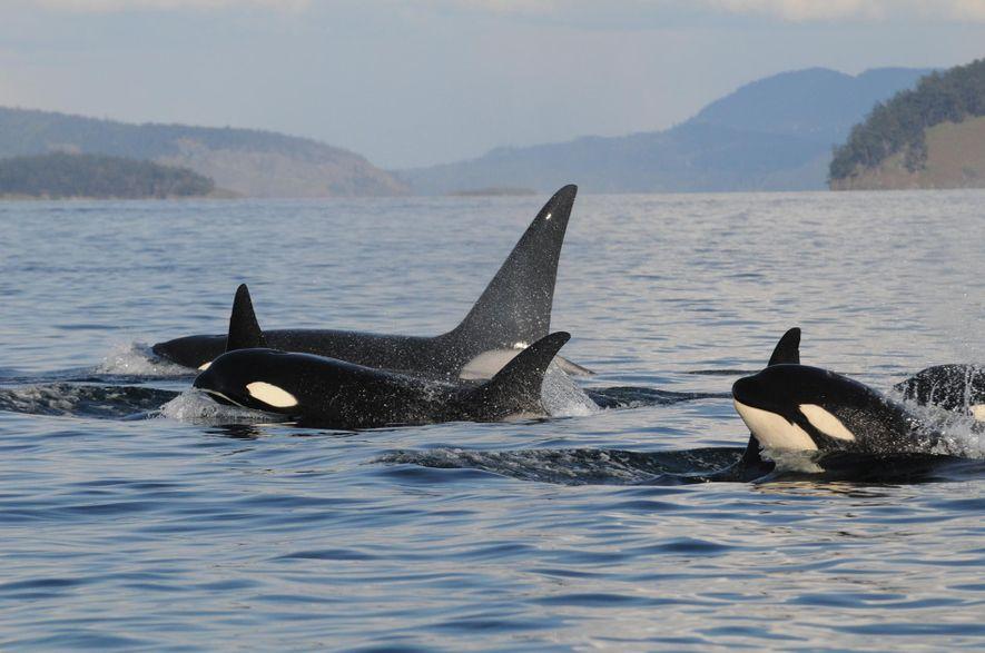 Uma família de orcas emerge no noroeste do Pacífico.