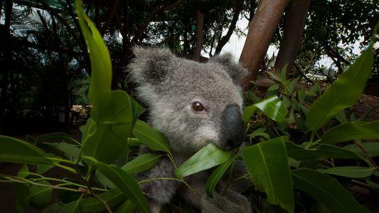 Um coala, uma espécie ameaçada de extinção a nível federal, alimenta-se com folhas de eucalipto num ...