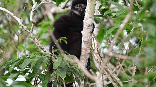 O recém-descrito macaco langur de Sumatra Oriental (Presbytis percura) qualifica-se como uma espécie criticamente em perigo ...