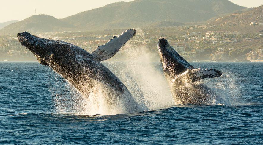 Duas baleias-corcundas emergem à superfície, lançando-se sobre as águas no Cabo de San Lucas Bar, no ...