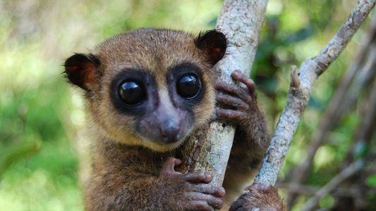 Olhos Grandes e Cauda Macia: Descoberta Nova Espécie de Lémure