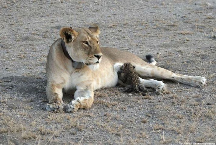 Cria de leopardo amamentada por uma leoa