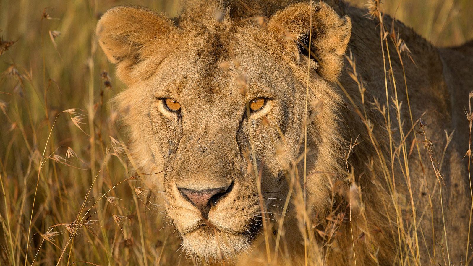 Na Tanzânia, um leão-africano move-se entre a vegetação ao nascer do sol.