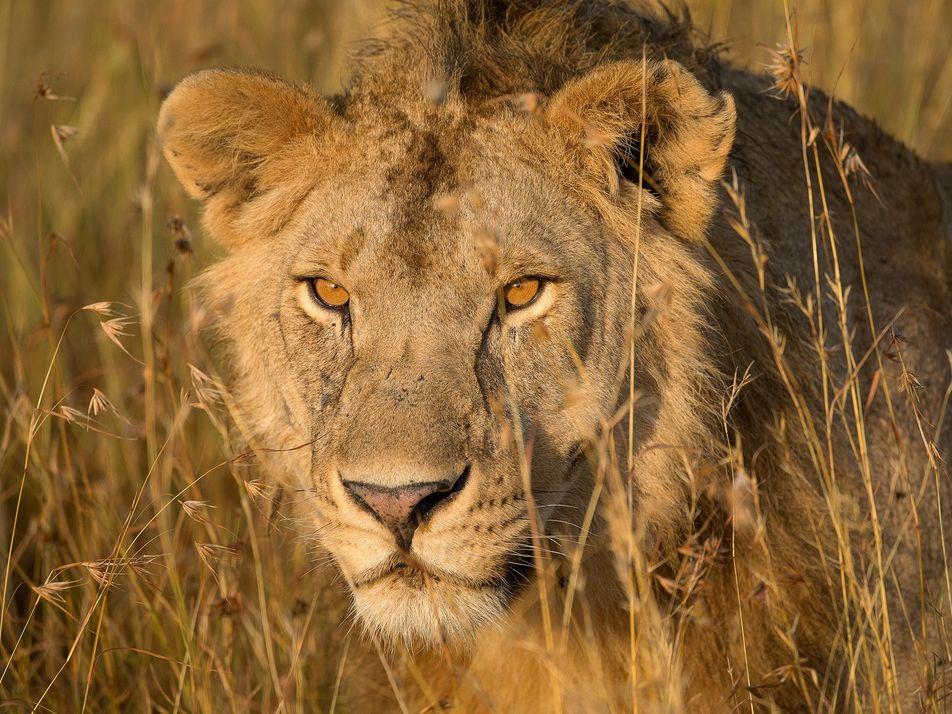 Um Olhar Mais Atento Sobre a Evolução dos Leões Oferece Esperança na Salvação dos Grandes Felinos