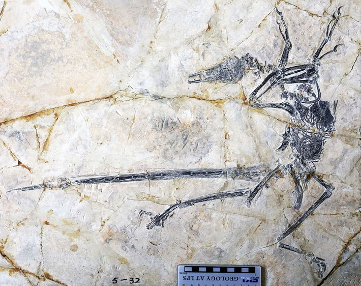 """O fóssil do dinossauro emplumado """"Microraptor"""" também preserva a última refeição do animal: um lagarto que ..."""