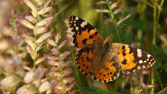 Borboleta Bela-Dama abre as asas
