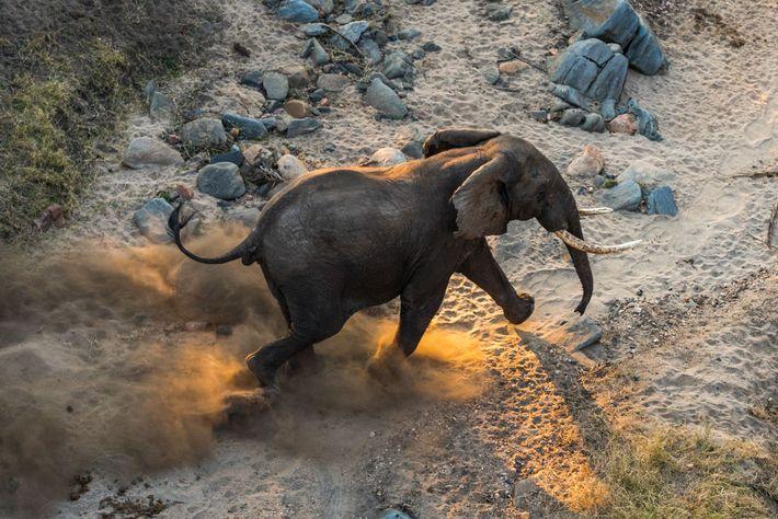 Um elefante adulto caminha