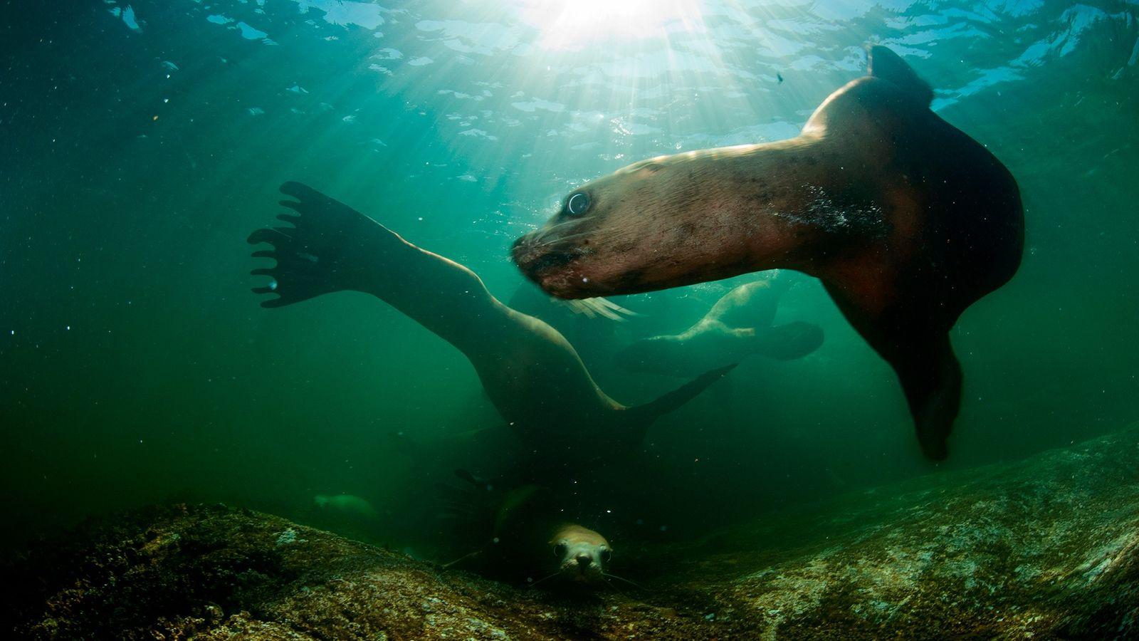 Leões-marinhos a nadarem nas águas ao largo da costa da Colúmbia Britânica. Os cientistas temem que ...