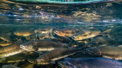 Várias Espécies de Peixes de Água Doce Tiveram um Declínio de 76% em Menos de 50 ...