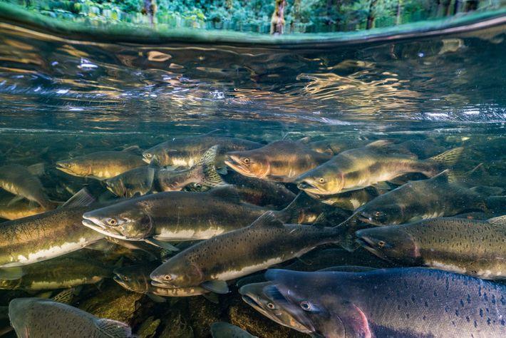 Como acontece com muitos dos peixes migratórios, o salmão-rei está ameaçado pela pesca em excesso, degradação ...