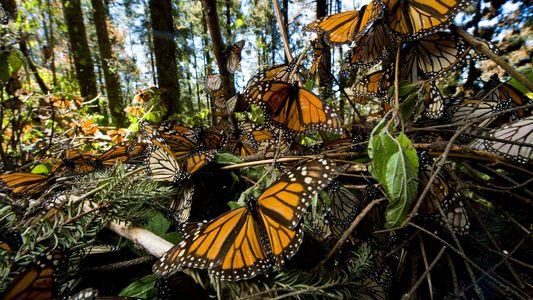 Estamos a Perder as Borboletas-Monarca Rapidamente – Saiba Porquê
