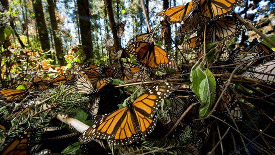 Um novo estudo mostra que as asas da borboleta-monarca estão a ficar maiores,