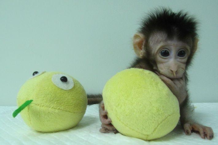 Primeira clonagem de macacos