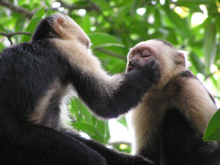 Macacos-prego-de-cara-branca (Cebus capucinus) com comportamentos estranhos – colocam os dedos nos narizes uns dos outros para ...