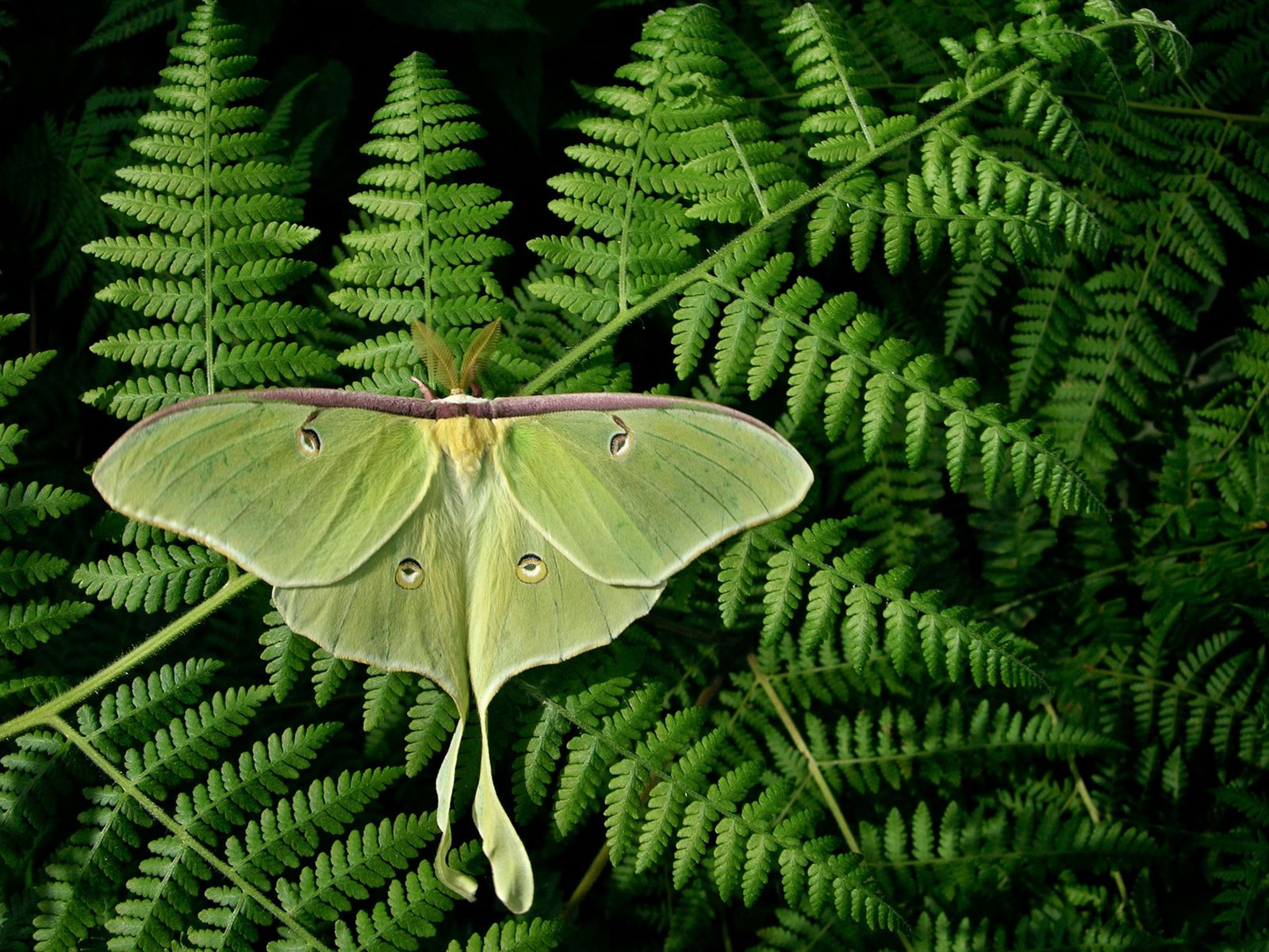 Uma mariposa da lua, Actias luna, exibe as suas asas gigantes sobre fetos, na Carolina do ...