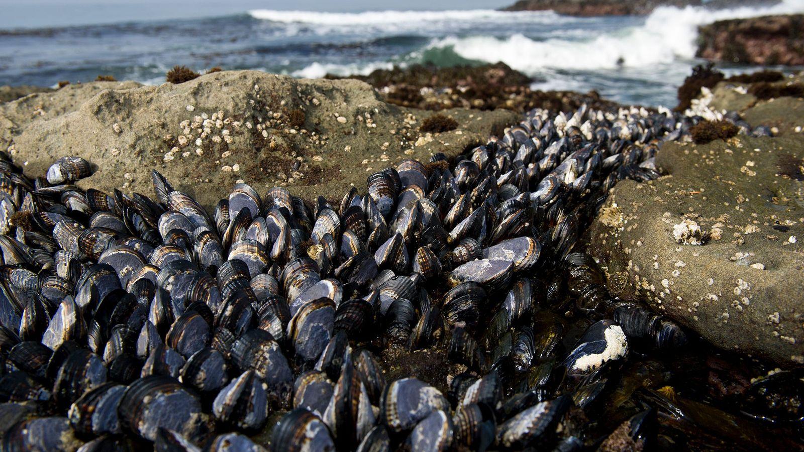 Os mexilhões (Mytilus trossulus), vistos aqui numa praia da Ilha Vancouver, na Colúmbia Britânica, podem ser ...