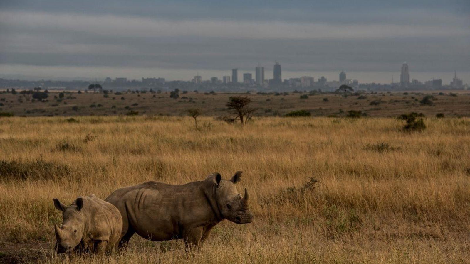 Rinocerontes brancos pastam no Parque Nacional de Nairobi, o parque nacional mais antigo do Quénia e ...