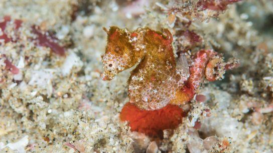 O Hippocampus nalu, também conhecido por cavalo-marinho pigmeu africano, tem o tamanho de um grão de ...
