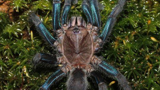 As fêmeas desta espécie recém-descoberta têm pernas azuis cintilantes. Os machos têm tons de castanho.