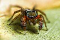 Nova espécie de aranha