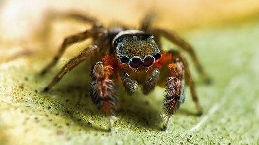 50 Novas Espécies de Aranhas Descobertas na Austrália