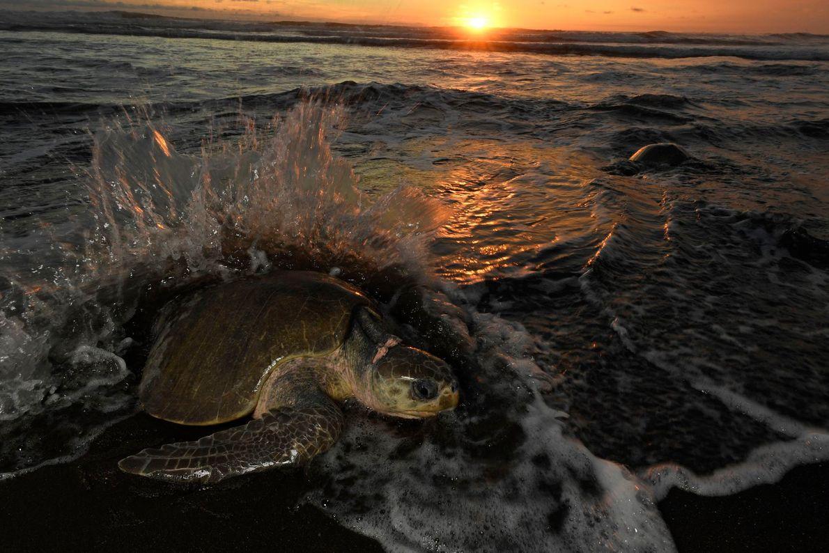 As tartarugas-oliva emergem todas ao mesmo tempo, todos os meses, geralmente uma semana antes da lua ...