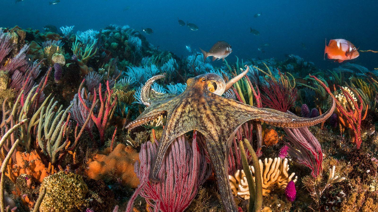 O polvo-comum (Octopus vulgaris) é encontrado pelo mundo inteiro. À medida que a popularidade de comer ...