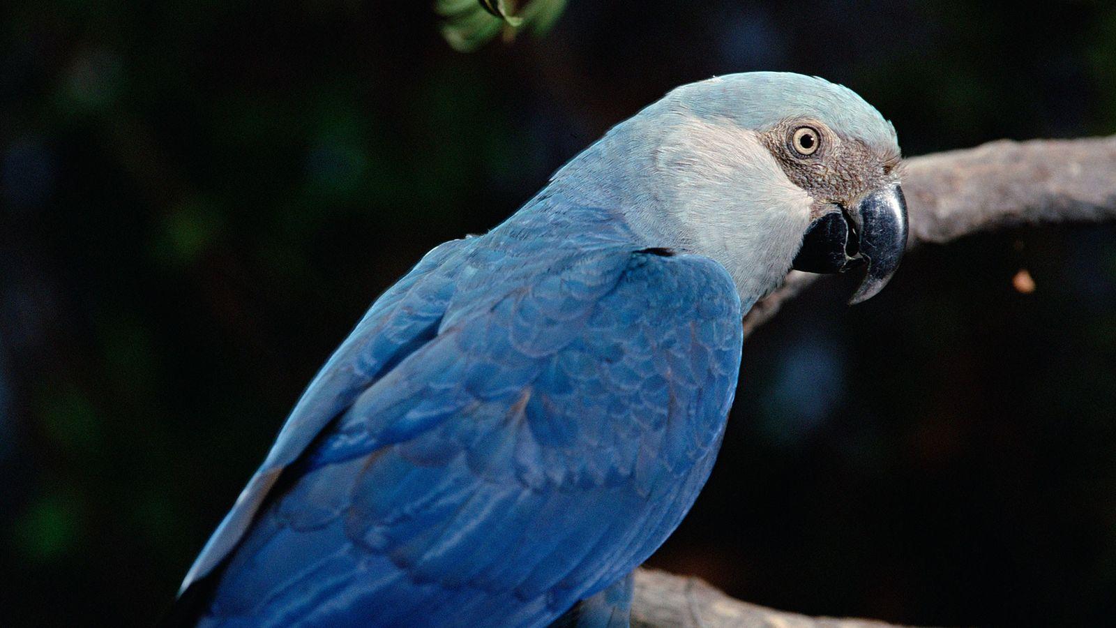 A ararinha-azul, encontrada originariamente na floresta da Amazónia no Brasil.