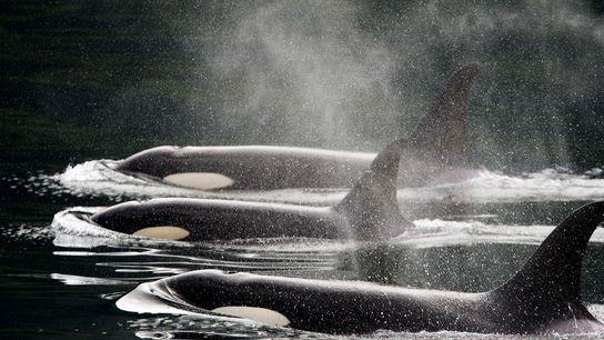 Três baleias assassinas nadam lado a lado à superfície das águas.