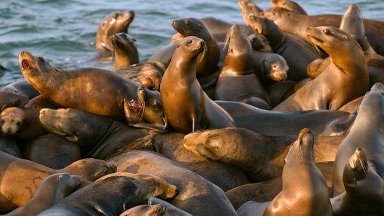 Um magote de leões-marinhos-da-Califórnia arrastam-se na doca de um cais, na zona portuária de Moss Landing. ...