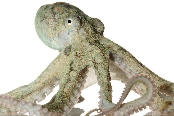 Os polvos-da-Califórnia envolvidos no estudo, semelhantes ao espécime retratado na imagem, revelaram um comportamento semelhante ao ...